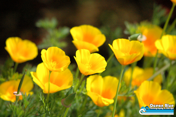 Ocean blue photography and design photos for sale yellow poppy field yellow poppy field mightylinksfo